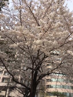 岡崎市・豊田市を中心に注文住宅、新築一戸建てを手掛ける共感住宅ray-out(レイアウト)が撮影した桜