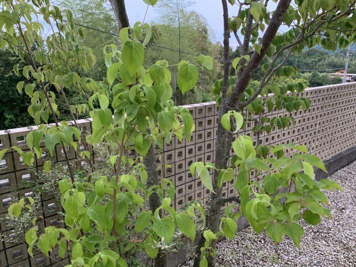 まだ咲かないヤマボウシ|岡崎市・豊田市を中心に注文住宅、新築一戸建てを手掛ける共感住宅ray-out(レイアウト)